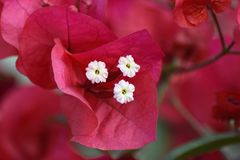 Mooie roze bloem van close-up Stock Foto's