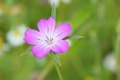 Mooie roze bloem in zomer Royalty-vrije Stock Afbeelding