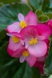 Mooie roze bloemachtergrond Royalty-vrije Stock Foto's