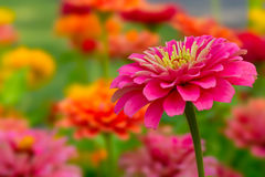 Mooie roze bloemen Royalty-vrije Stock Fotografie