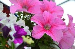 Mooie roze bloemen Royalty-vrije Stock Afbeelding