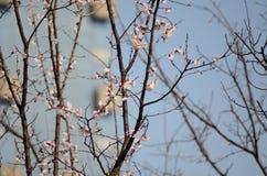 Mooie roze bloemen in de lente Stock Afbeeldingen