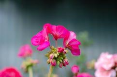 Mooie roze bloemen in de de lentetuin stock afbeelding