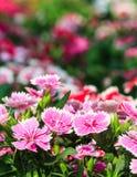 Mooie roze bloemen in de tuin Stock Afbeelding