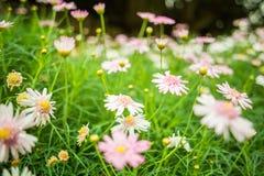 Mooie roze bloemen in de tuin Stock Foto