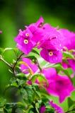 Mooie roze bloemen in de tuin, de bloemenlente als achtergrond en het de zomerconcept Zachte nadruk van Roze Bougainvilleaglabra  Royalty-vrije Stock Fotografie