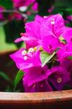 Mooie roze bloemen in de tuin, de bloemenlente als achtergrond en het de zomerconcept Zachte nadruk van Roze Bougainvilleaglabra  Stock Fotografie