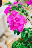 Mooie roze bloemen in de tuin, de bloemenlente als achtergrond en het de zomerconcept Zachte nadruk van Roze Bougainvilleaglabra  Royalty-vrije Stock Afbeeldingen