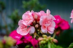 Mooie roze bloemen in de tuin van de de lentezomer royalty-vrije stock fotografie