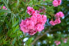Mooie roze bloemen die briljant in de zomer bloeien royalty-vrije stock foto's