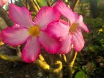 Mooie roze bloemen met ochtendzonneschijn royalty-vrije stock afbeeldingen