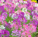 Mooie roze bloemen in tuin Royalty-vrije Stock Foto