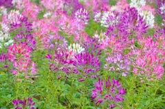 Mooie roze bloemen in tuin Royalty-vrije Stock Afbeelding