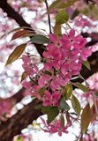 Mooie roze bloemen van vruchtbare appelen Stock Fotografie