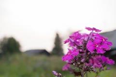 Mooie roze bloemflox op vage achtergrond van dorp Royalty-vrije Stock Foto's