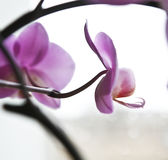Mooie roze caladenia Stock Foto's