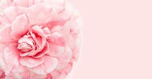 Mooie roze camelia dichte omhooggaand met exemplaarruimte voor groetkaart royalty-vrije stock foto