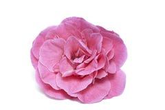 Mooie roze cameliabloem op wit stock foto