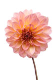Mooie Roze dahlia Stock Foto's