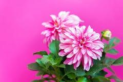 Mooie roze dahlia op een roze achtergrond Stock Afbeeldingen