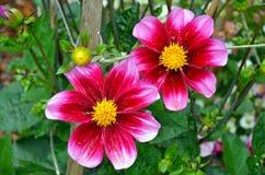 Mooie roze dahlia's Royalty-vrije Stock Afbeeldingen