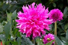 Mooie roze dahlia's Royalty-vrije Stock Afbeelding