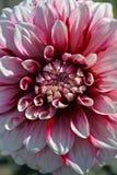 Mooie roze Dahliabloem Royalty-vrije Stock Afbeelding
