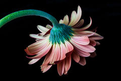 Mooie Roze Daisy Hanging neer Royalty-vrije Stock Afbeeldingen