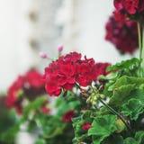 Mooie roze de petuniabloemen van Bourgondië met groene bladeren in stock fotografie