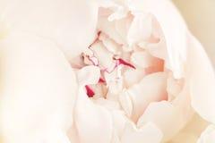 Mooie roze dichte omhooggaande pioenbloem royalty-vrije stock fotografie