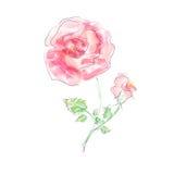 Mooie roze die bloemen, waterverf, op een wit wordt geïsoleerd Royalty-vrije Stock Afbeelding