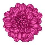 Mooie roze die dahlia op witte achtergrond wordt geïsoleerd vector illustratie