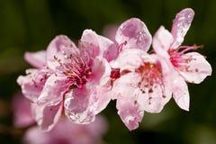 Mooie roze die de lentebloemen met regendruppels worden behandeld stock fotografie