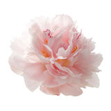 Mooie roze die pioenbloem op wit wordt geïsoleerd royalty-vrije stock afbeeldingen