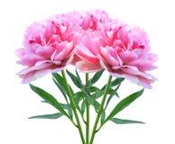 Mooie roze die pioenbloemen op wit worden geïsoleerd Stock Afbeeldingen