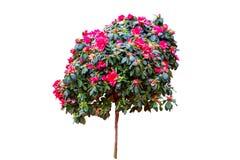 Mooie roze die Rododendronbloem op witte achtergrond wordt ge?soleerd Gespaard met het knippen van weg royalty-vrije stock afbeeldingen