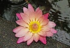 Mooie roze en gele bloem royalty-vrije stock foto's