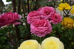 Mooie roze en gele bloemen Stock Afbeeldingen