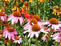 Mooie roze en oranje bloemen Royalty-vrije Stock Afbeeldingen