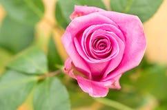 Mooie roze enige Ecuatoriaans nam toe Royalty-vrije Stock Foto's