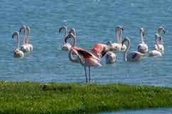 Mooie roze flamingo's die en in water van lagune op Luderitz-schiereiland, Namibië, Zuid-Afrika rusten voeden Royalty-vrije Stock Afbeelding