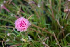 Mooie roze gemeenschappelijke purslane Stock Afbeelding