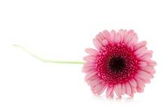 Mooie roze gerbera Royalty-vrije Stock Foto