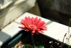 Mooie roze gerberabloem Royalty-vrije Stock Foto's
