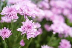 Mooie roze gerberabloem in de tuin Royalty-vrije Stock Afbeelding