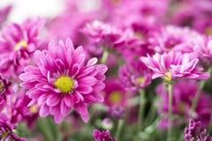 Mooie roze gerberabloem in de tuin Royalty-vrije Stock Foto