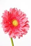 Mooie roze gerberabloemen op wit Stock Afbeeldingen
