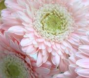 Mooie roze gerberas Royalty-vrije Stock Fotografie