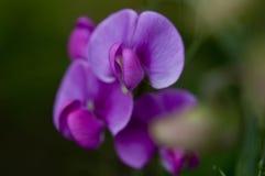 Mooie roze, geurige erwten in tuin Stock Afbeelding