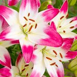 Mooie roze hemerocallisbloemen stock foto